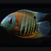 Red Shoulder Severum - Live South American Cichlid - Tropical Aquarium Fish
