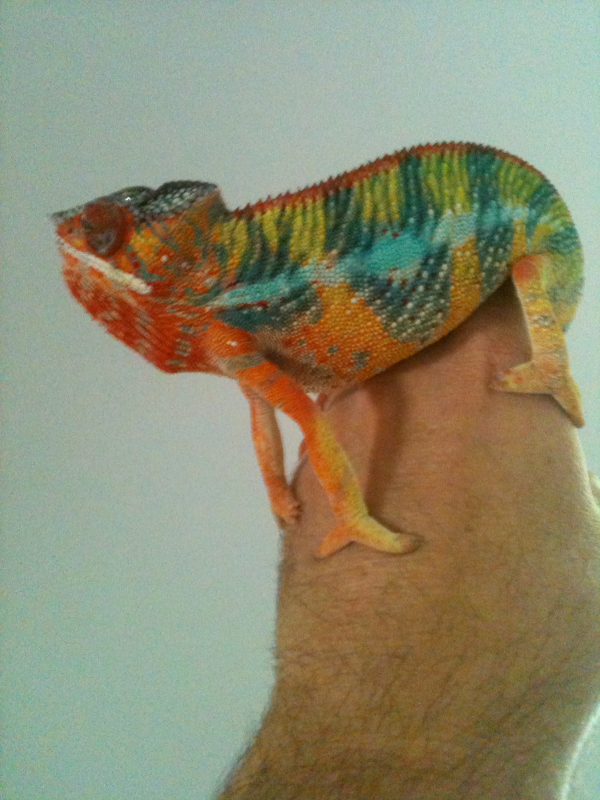 Ambilobe Panther BLUEBAR PANTHER Chameleon egg hatch your own live baby