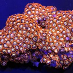 Small Red/Orange Zoanthid Colony Live Coral